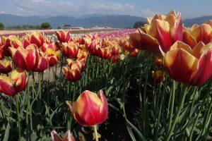 Abbotsford tulip festival abbotsford hotel best western plus regency